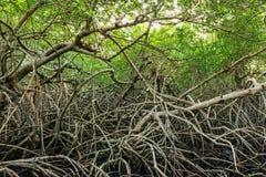 Le mangrovie verdi inondano la foresta densa della vegetazione della giungla in Tobago i Caraibi Immagini Stock Libere da Diritti
