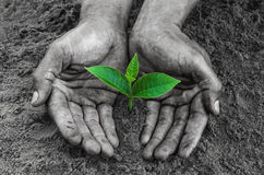 Le mani anneriscono la tenuta e preoccuparsi una giovane pianta verde fotografia stock libera da diritti