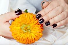 Le mani con le brevi unghie dipinte hanno colorato con smalto porpora scuro che tiene un fiore Immagini Stock
