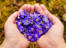 Le mani a coppa che tengono i fiori viola della molla nel cuore modellano Fotografia Stock