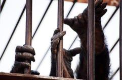 Le mani degli scimpanzé Fotografia Stock