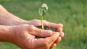 Le mani degli uomini dell'agricoltore tengono la terra in cui il germe di soia germogliato archivi video