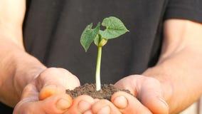Le mani degli uomini dell'agricoltore tengono la terra in cui il germe di soia germogliato stock footage