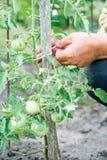 Le mani del ` s dell'agricoltore prendono la cura dei pomodori non maturi Fotografie Stock Libere da Diritti