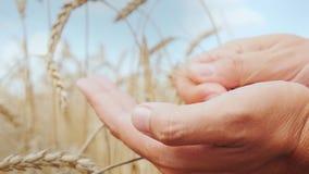 Le mani del ` s dell'agricoltore studiano con attenzione le spighette ed i grani di grano sul campo fotografie stock