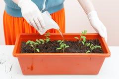 Le mani del ` s della donna in guanti versa del pomodoro e del pepe piantati in vasi di plastica Piantatura delle piantine in un  Fotografia Stock