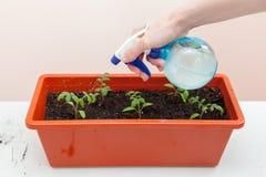 Le mani del ` s della donna in guanti versa del pomodoro e del pepe piantati in vasi di plastica Piantatura delle piantine in un  Immagini Stock
