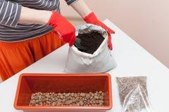 Le mani del ` s della donna in guanti versa il drenaggio ed il fertilizzante in un recipiente di plastica Preparazione dei semi p Fotografia Stock Libera da Diritti