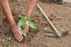 Le mani dell'agricoltore che piantano un girasole nel giardino Fotografia Stock Libera da Diritti