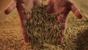 Le mani dell'agricoltore laborioso che mostrano il grano dorato della segale alla macchina fotografica, risultato di lavoro stock footage
