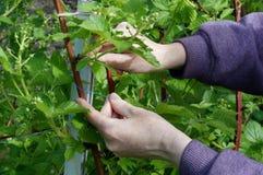 Le mani dell'agricoltore legano con attenzione i rami delicati della molla di Fotografia Stock