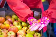 Le mani dell'impiegato che ha imballato le mele in un cartone fotografia stock