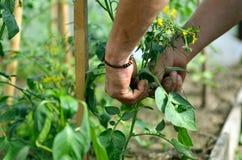 Le mani dell'uomo che legano i rami delle piante Fotografie Stock