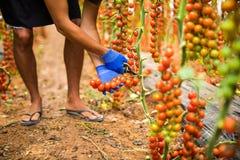 Le mani dell'uomo dell'agricoltore raccoglie i pomodori ciliegia con le forbici raccolgono nell'affare di famiglia della serra Fotografia Stock Libera da Diritti