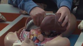 Le mani dell'uomo hanno un i pezzi di modello umano di plastica dell'anatomia disposto in scatola stock footage