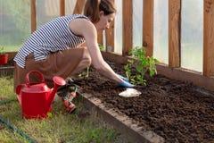 Le mani della donna che piantano le piantine del pomodoro in serra Concetto organico di crescita e di giardinaggio immagini stock