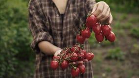 Le mani della donna tengono nelle palme dei pomodori ciliegia maturi con le gocce dell'acqua sull'azienda agricola nella luce del archivi video