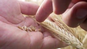Le mani della manodopera agricola controllano per vedere se ci sono spighette o la segale dell'orzo di malattia o di maturità archivi video