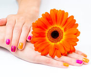 Le mani delle donne con il fiore arancio della gerbera Immagine Stock Libera da Diritti