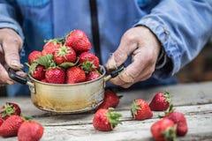 Le mani di Farme tengono un vecchio vaso della cucina in pieno delle fragole mature fresche immagini stock