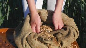 Le mani di una fine della ragazza dell'agricoltore su versano una manciata di grani del grano in un giacimento di grano Fotografia Stock Libera da Diritti