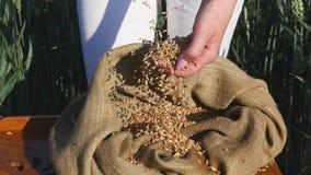 Le mani di una fine della ragazza dell'agricoltore su versano una manciata di grani del grano in un giacimento di grano Fotografie Stock Libere da Diritti