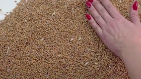 Le mani distribuiscono il grano sulla tavola per controllare stock footage
