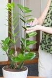 Le mani femminili che prendono la cura della pianta in vaso da fiori a sua casa, pulente la polvere dal ` s del fiore va Fotografia Stock Libera da Diritti