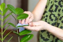 Le mani femminili che prendono la cura delle piante a sua casa, pulente la polvere dal ` s del fiore va Immagine Stock
