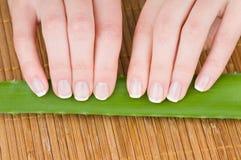Le mani femminili con il manicure francese e l'aloe frondeggiano Fotografia Stock Libera da Diritti