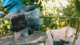 Le mani femminili in guanti blu stanno giudicando la pianta con una radice pronta per piantare stock footage