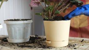 Le mani femminili in guanti blu trapiantano i fiori domestici delle viole nella nuova bella fine beige del vaso su stock footage