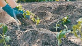 Le mani femminili scavano nella giovane pianta di pomodori a terra Piantagione del pomodoro video d archivio
