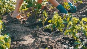 Le mani femminili scavano nella giovane pianta di pomodori a terra Piantagione del pomodoro stock footage