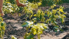Le mani femminili scavano nella giovane pianta di pomodori a terra Piantagione del pomodoro archivi video