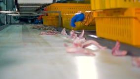 Le mani gloved dei lavoratori scelgono le ali di pollo per l'imballaggio nell'impianto di lavorazione di raduno 4K
