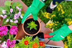 Le mani in guanti verdi piantano i fiori in vaso Immagini Stock