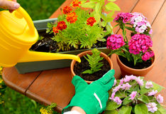 Le mani in guanti verdi piantano i fiori in vaso Immagini Stock Libere da Diritti