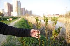 Le mani maschii tengono un giovane germoglio dell'albero contro lo sfondo delle costruzioni della città fotografia stock libera da diritti