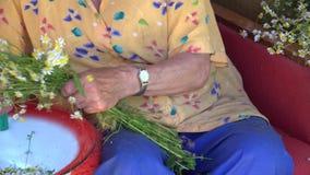 Le mani senior della donna selezionano le fioriture di erbe dal mazzo del fiore della camomilla 4K archivi video