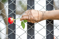 Le mani sporche sono legate con le rose legato con amore Fotografia Stock Libera da Diritti
