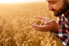 Le maninnehavöron av vete nära hans framsida och näsa på en bakgrund ett vetefält Den lyckliga agronombonden sniffar Arkivbilder