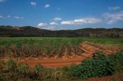 Le manioc met en place en Thaïlande avec des montagnes à l'arrière-plan Photographie stock