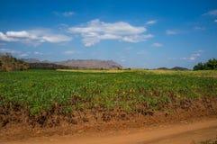 Le manioc met en place en Thaïlande avec des montagnes à l'arrière-plan Photos stock