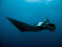 Le Manta Ray Photographie stock