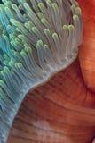 Le manteau de l'anémone magnifique. Image libre de droits