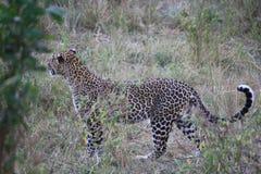 Le manteau du léopard Photos libres de droits