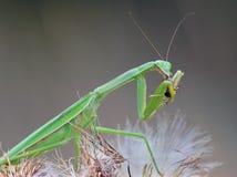 Le Mantis de prière mange un cricket Image libre de droits