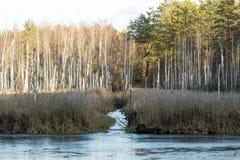 Le marais de bouleau Image libre de droits