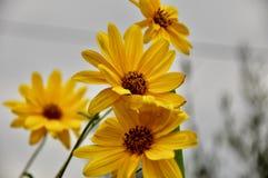 Le margarite gialle si chiudono su nel giardino con fondo grigio immagini stock